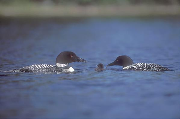 common loon feet. makeup Common Loon clip art